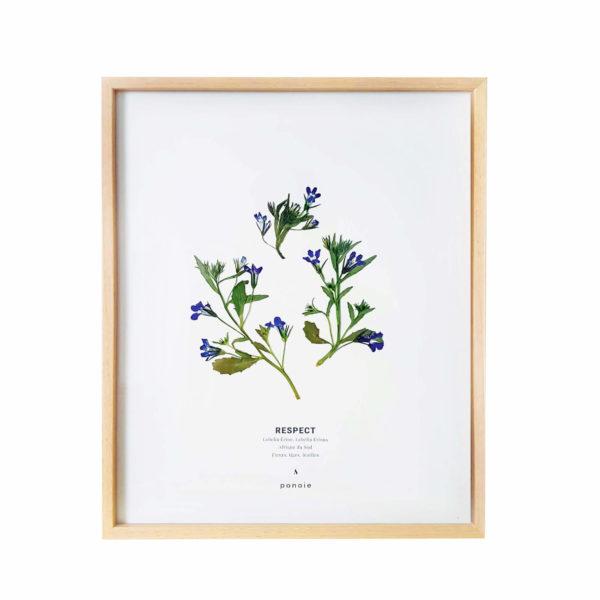 Herbier Lobelia Érine #RESPECT 24 x 30 cm - Herbier fleurs PARIS