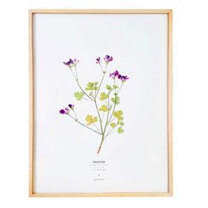 Herbier Géranium Pélargonium 30 x 40 cm