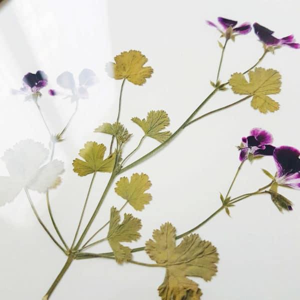 Herbier Géranium Pélargonium 24 x 30 cm - Herbier fleurs PARIS