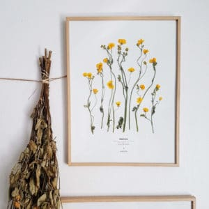 Herbier Renoncule Rampante #ÉNERGIE 30 x 40 cm - Herbier sous verre