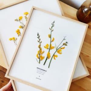Herbier GENÊT #RENAISSANCE 24 x 30 cm - Herbier fleurs PARIS