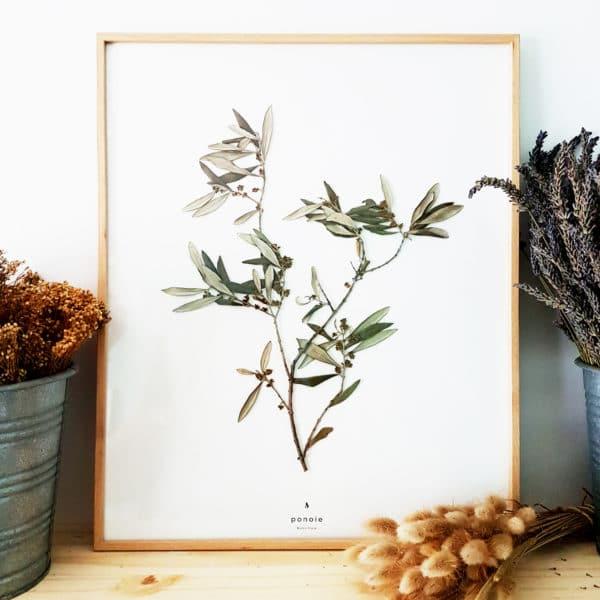 Herbier Branche d'olivier #PAIX 40 x 50 cm - Herbier botanique PARIS