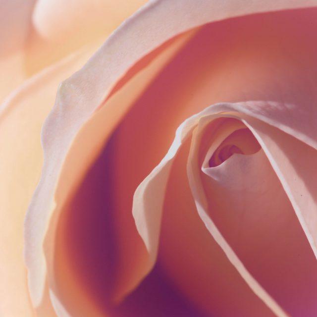 ROSE DE DAMAS / quelle fleurs séchées dans les bougies