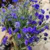Fleurs séchées de Bleuet - Livraison fleurs séchées en ligne France