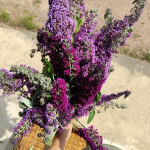 Fleurs séchées d'Arbre aux papillons - Vente fleurs séchées en ligne