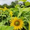 Nos fleurs sont cultivées en France dans notre ferme florale en plein cœur du Berry à Chezal-Benoît. Nous produisons des variétés de fleurs spécifiquement appropriées aux bouquets séchés et compositions durables. Grâce à un mode de culture sain (permaculture biologique), nous n'utilisons aucuns agents chimiques ou techniques motorisées polluantes. Nous faisons pousser, cueillions et séchons l'ensemble de nos végétaux à la main pour vous offrir un résultat de qualité pour vos arrangements floraux tout en valorisant une démarche écologique !