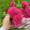 Fleurs séchées de Célosie King Corail - Livraison fleurs séchées en ligne
