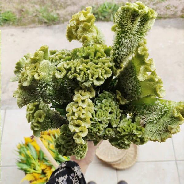 Fleurs séchées Célosie Andrea Verte - Vente fleurs séchées à la ferme